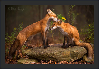 Red Foxes Grooming