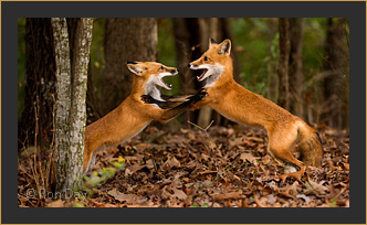Red Foxes Sparring