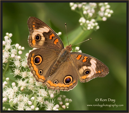 Buckeye Butterfly on Boneset