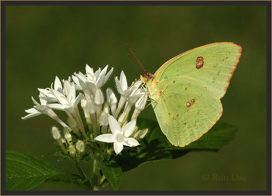 Yellow Sulphur Butterfly on White Penta Blossom