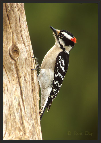 Downey Woodpecker (Picoides pubescens), male