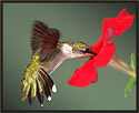 Ruby-throated Hummingbird at Petunia
