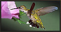 Ruby-throated Hummingbird Female