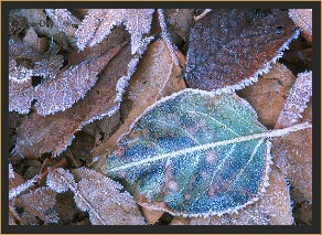 Morning Frost on Leaves
