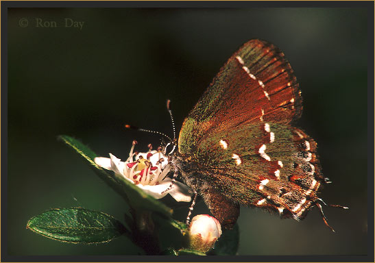 Olive Hairstreak Butterfly on Cottoneaster