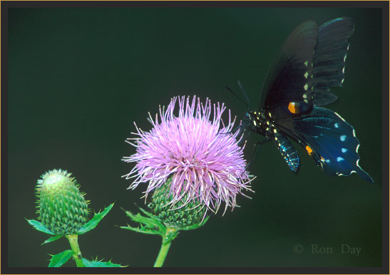 Pipevine Swallowtail Butterfly on Thistle