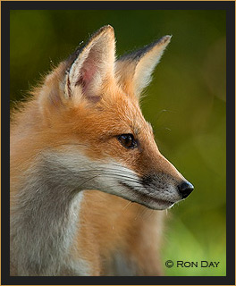 Red Fox Profile