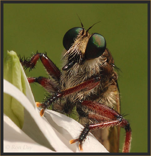 Robber Fly (Tolmerus), on Periwinkle