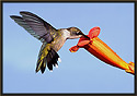 Ruby-throated Hummingbird V