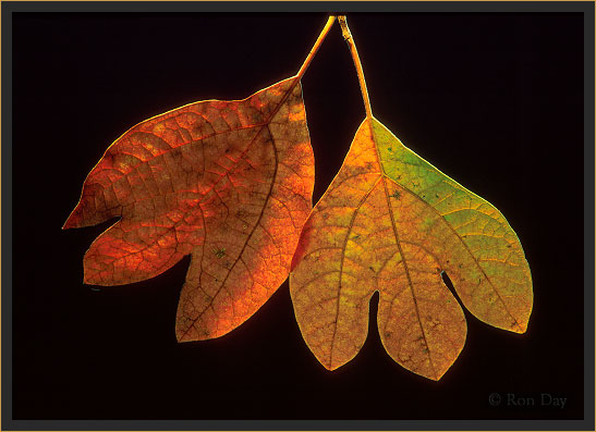 Autumn Leaves (Sassafras albidum)