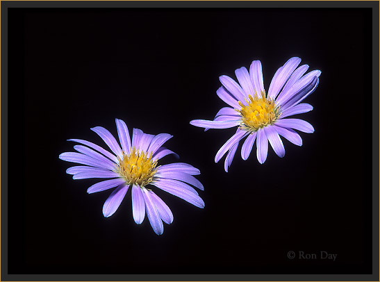 Wildflower, Aster Family