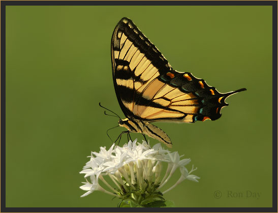 Tiger Swallowtail Butterfly (Papilio glaucus), on white Penta