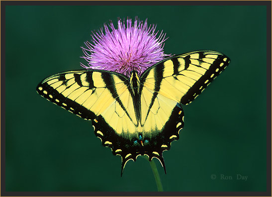 Tiger Swallowtail Butterfly on Thistle